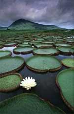 Giant Amazon Waterlillies C.Theo Allofs