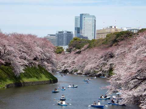 cherry-blossom-day5
