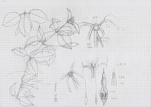 Fuchsia_2