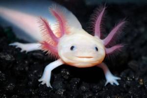 Axolotl-slider