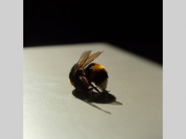 Bee. Lydia Goldblatt