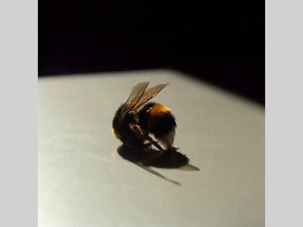Bee. Lydia Goldblatt