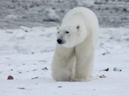 LightNight 2018: LJMU John Lennon Building: The Polar Bear Waltz